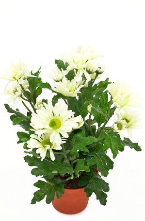 krysantemum, vit-0