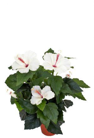 Hibiscus vit, konstgjord blomma-0