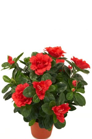 Azalea, röd, konstgjord blomma-0