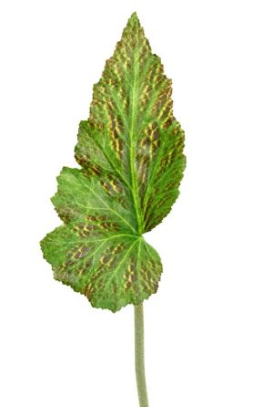 Blad, rexbegonia, konstgjord växt, blomma-0