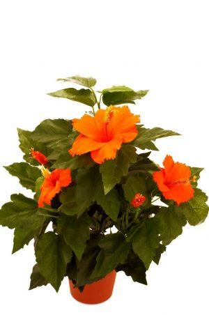 Hibiscus orange, konstgjord blomma-0