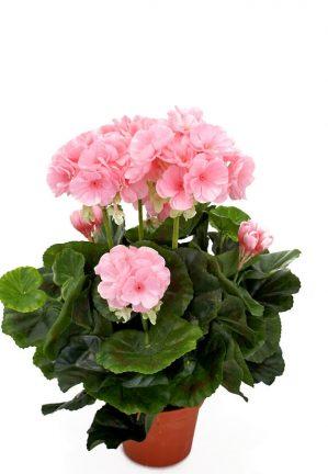 Pelargonia, ljusrosa, konstgjord-blomma-0