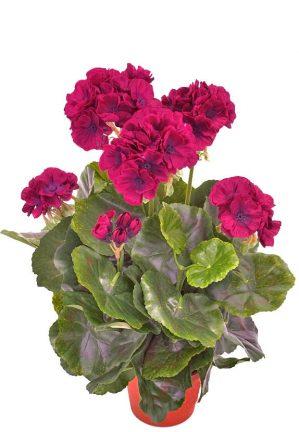 Pelargonia, mörk lila, konstgjord blomma-0