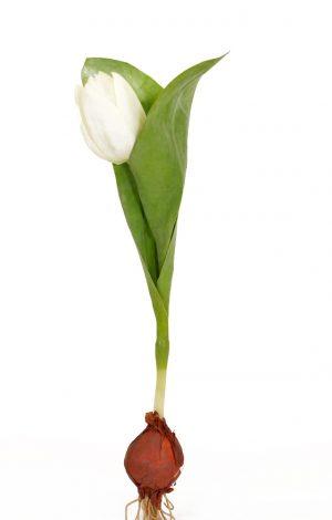 Tulpan på lök, vit, konstgjord blomma-0