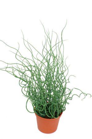 Juncus, konstgjord krukväxt-0