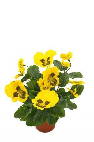 Pensé i kruka, gul, konstgjord blomma-0