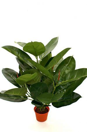 Ficus robusta, Fönsterfikus, konstgjord krukväxt-5888