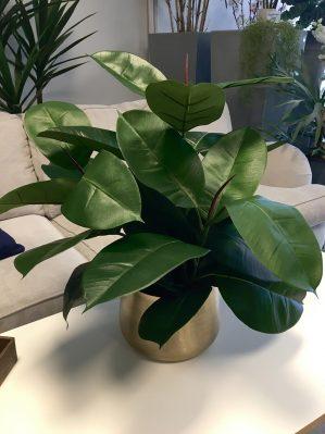 Ficus robusta, Fönsterfikus, konstgjord krukväxt-0