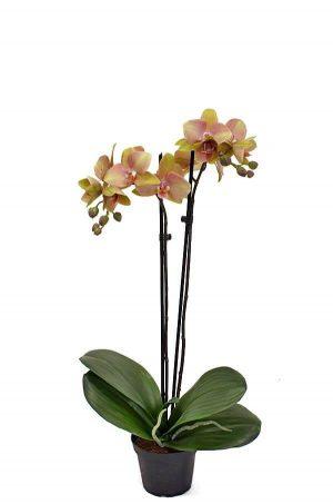 Orkidé olivgrön rosa, 2-stängel, konstgjord-0