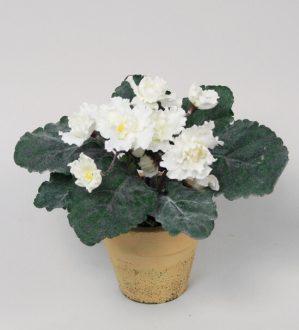 Saint paula, vit, konstgjord blomma-0