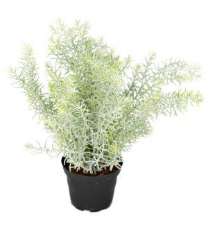 Asparagus, konstgjord krukväxt-0