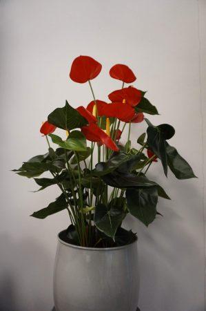 Anthurium, flamingo, röd, konstgjord krukväxt-6484